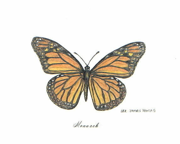 Butterfly Drawing - Monarch Butterfly by Lee Pantas
