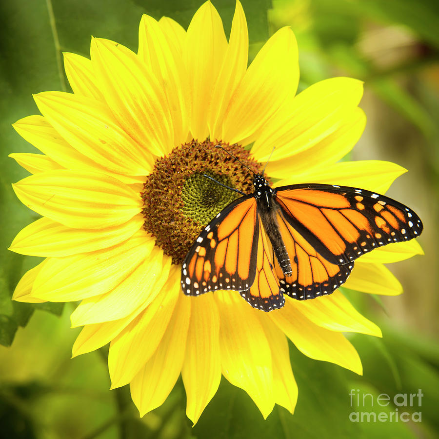 Monarch Butterfly On Sunflower Photograph