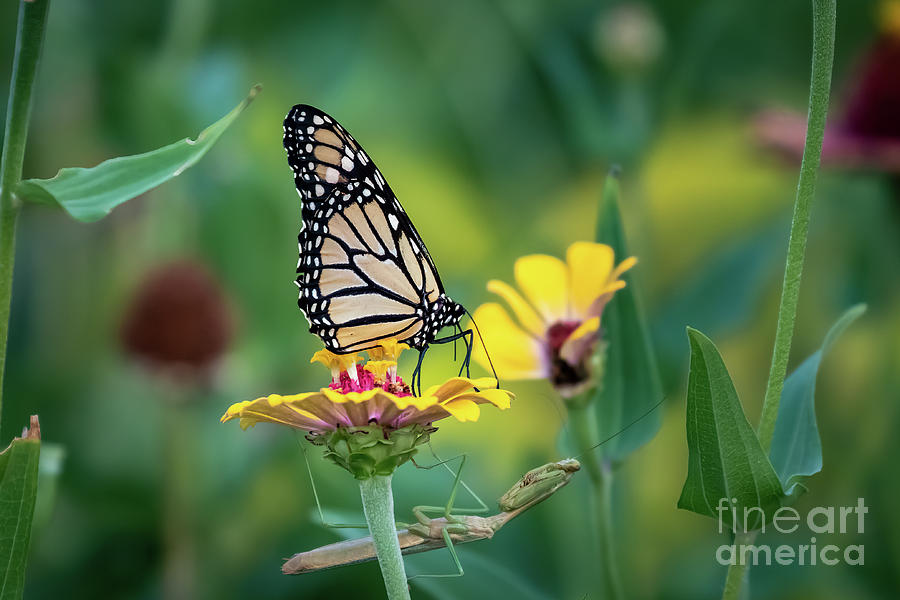 Monarch Butterfly Perched On A Yellow Flower Photograph