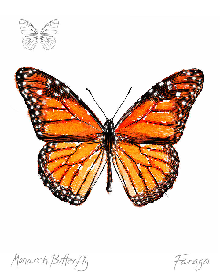 Monarch Drawing - Monarch butterfly by Peter Farago