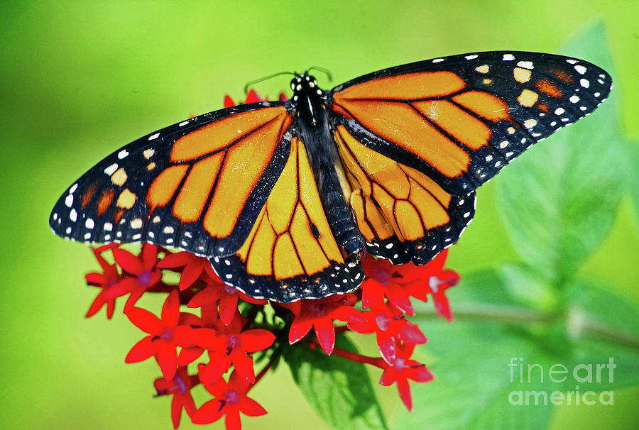 Butterfly Photograph - Monarch On Pentas by Larry Nieland