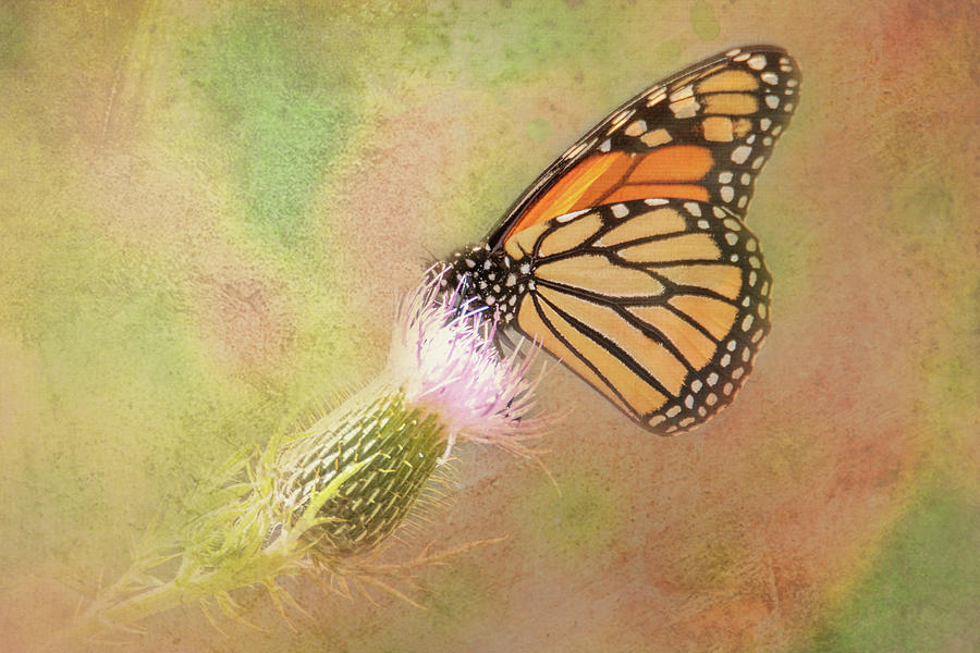 Monarch on Thistle Bloom by Patti Deters