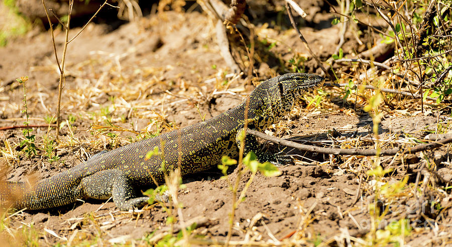 Monitor Lizard Photograph