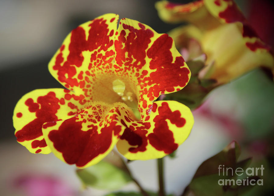 Monkey Flower 1 Photograph by Ross Coleman