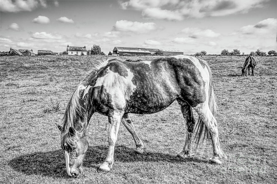 Monochrome Horses In A Filed Photograph