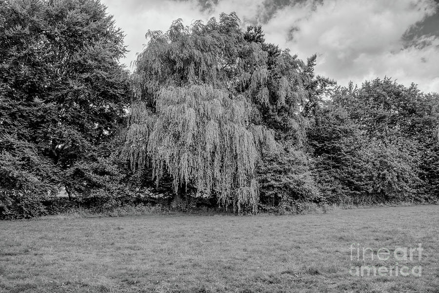 Monochrome Of A Weeping Willow Tree Photograph