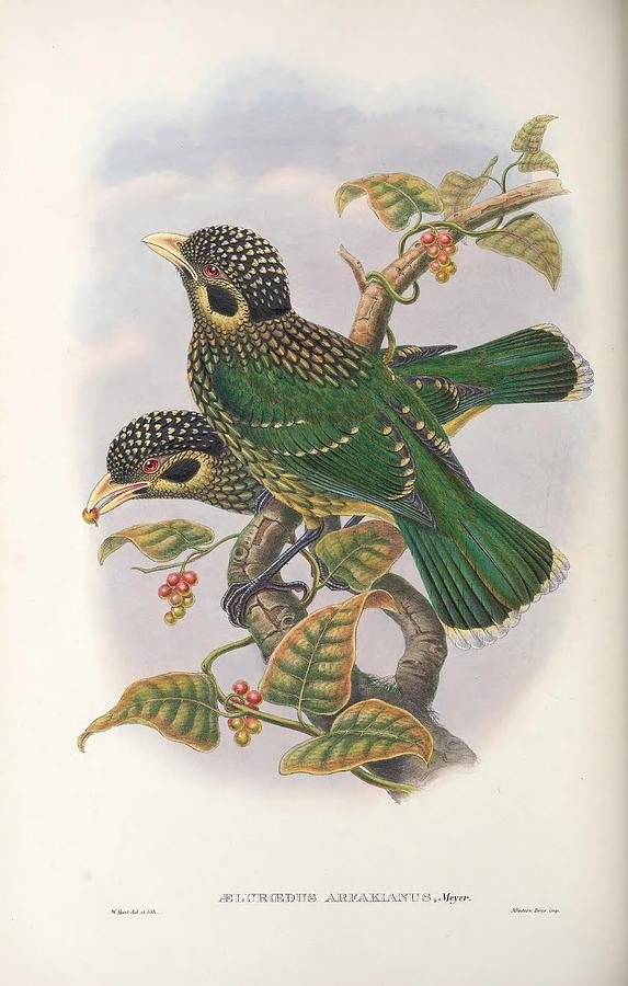 Monograph Of The Paradiseidae Or Birds Of Paradise And Ptilonorhynchida 031 Painting