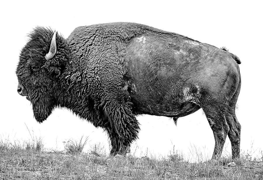 Photograph Photograph - Montana Bison, Fine Art Monotone Photograph by Greg Sigrist