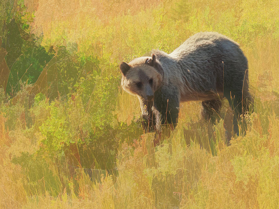 Montana Grizzly Bear feeding in the tall grass. by Rusty R Smith