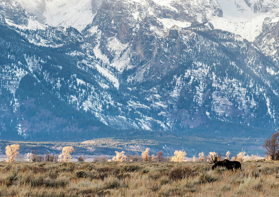 Moose and Tetons 2 by Michael Chatt