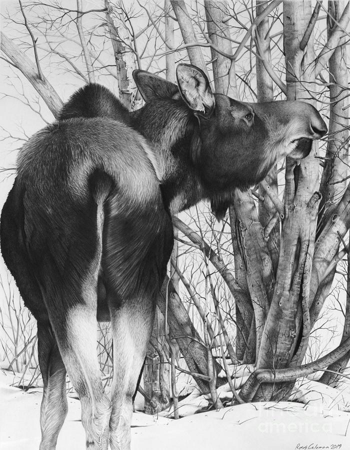 Moose Eating Willows B Drawing by Ross Coleman