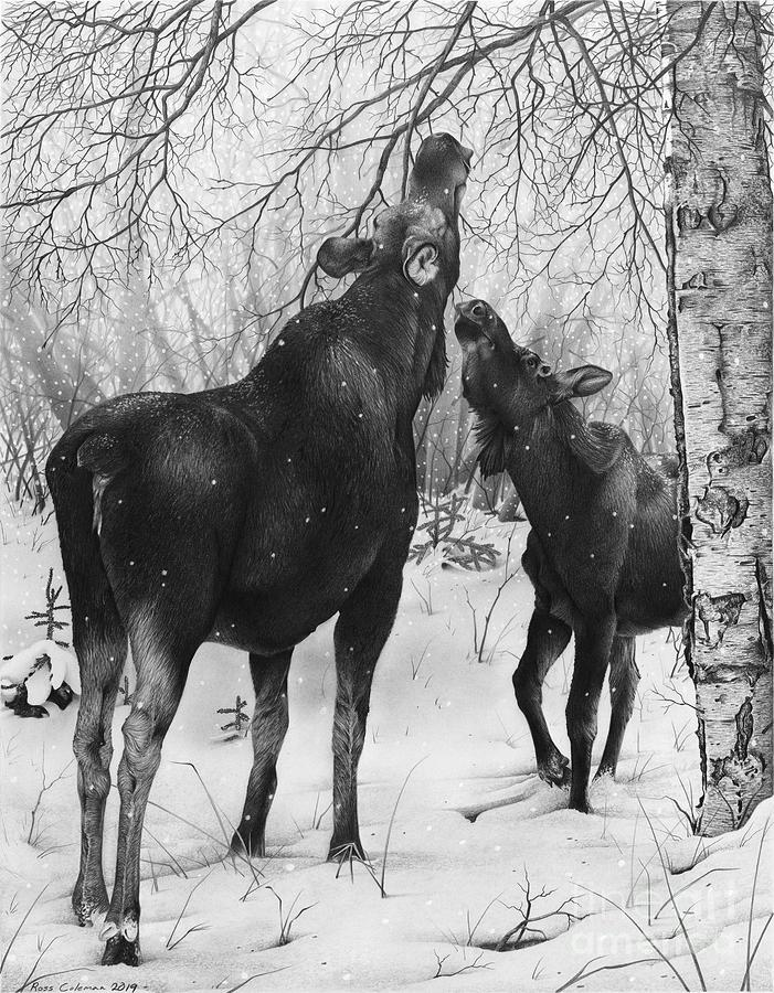 Moose With Calf Drawing by Ross Coleman
