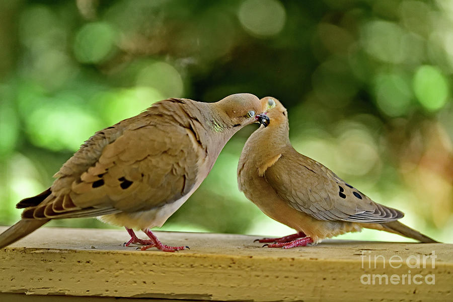 Morning Doves Mating - The Beak Lock Continues Photograph