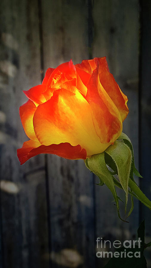 Rose Photograph - Morning Tahitian Rose  by Julieanne Case