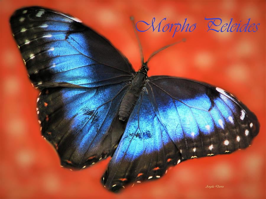 Morpho Peleides by Angela Davies