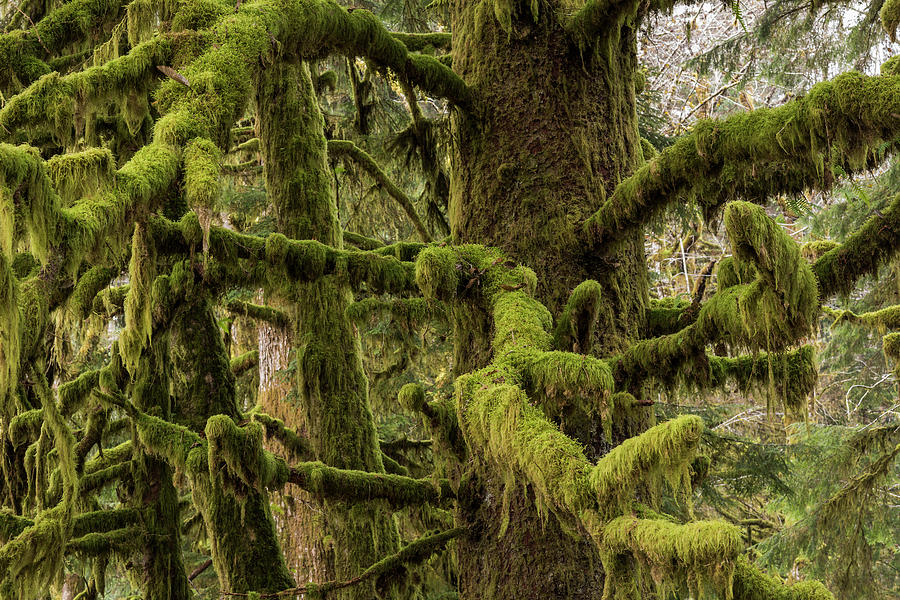 Moss-covered Limbs by Robert Potts