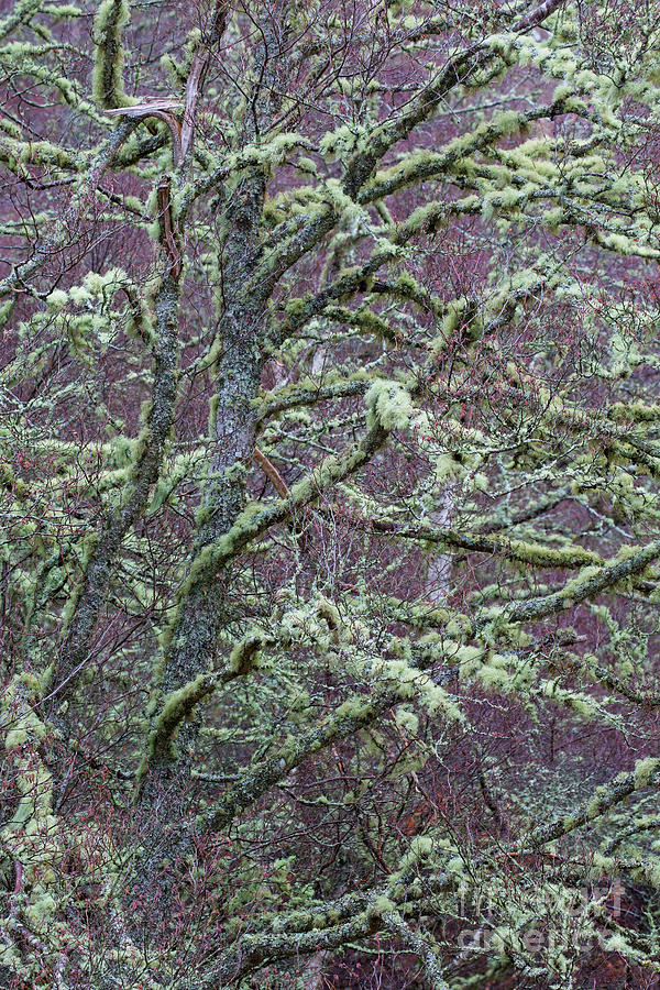 Moss Covered Silver Birch by Arterra Picture Library
