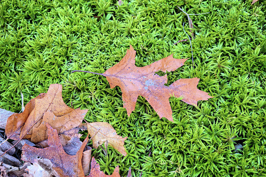Oak Photograph - Moss Oak by Bonfire Photography