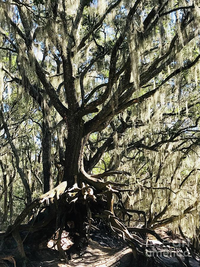 Mossy Live Oak with Roots by Carol Groenen