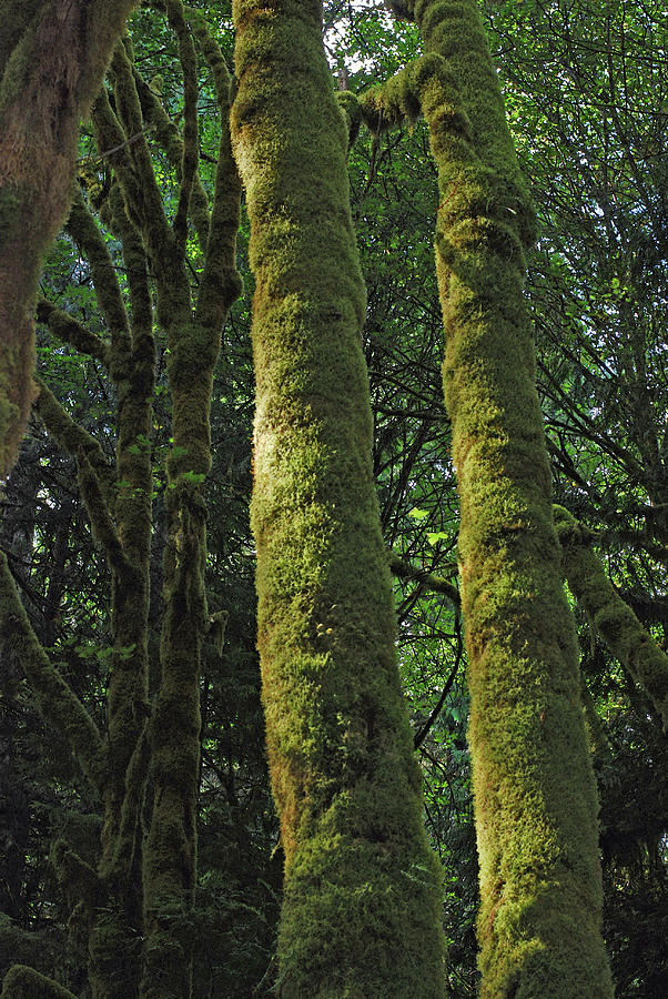 Mossy Tree Trunks Photograph
