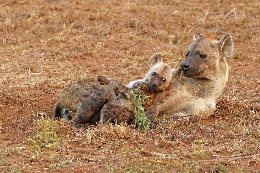 Hyena Photograph - Mother and young, Hyena by MaryJane Sesto