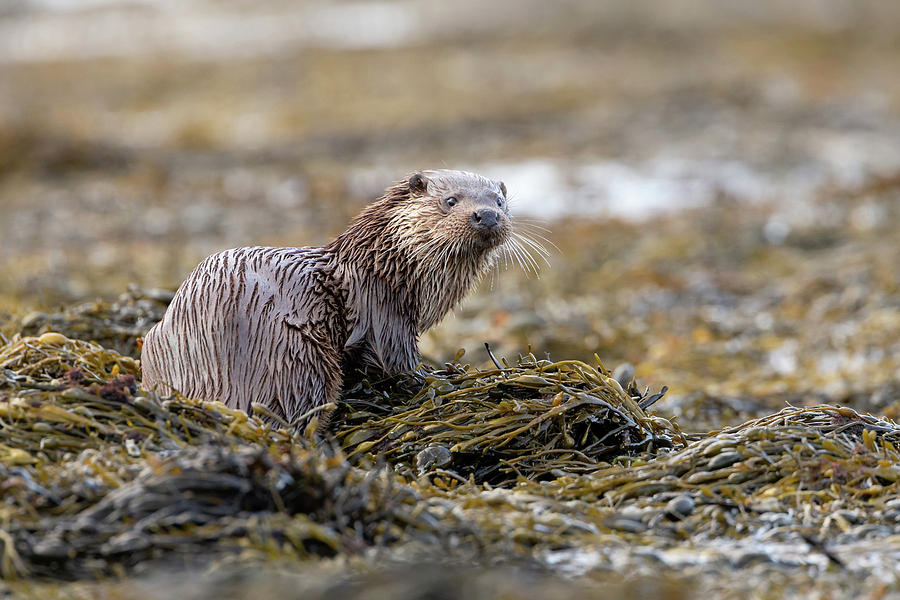 Mother Otter  by Peter Walkden