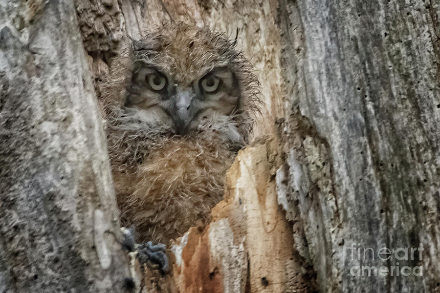 Owlet Photograph - Mother Owl by Gaby Swanson