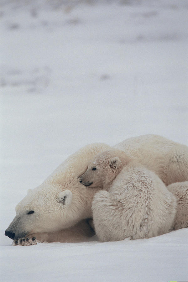 Mother polar bear nestling with cub , Canada Photograph by Comstock Images