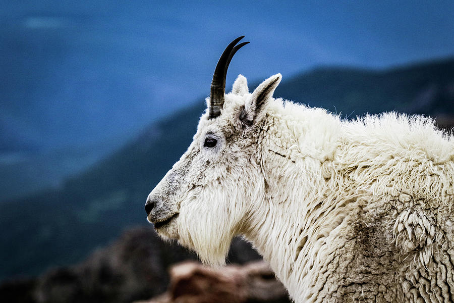Animal Photograph - Mount Evans Goat by Kamie Stephen