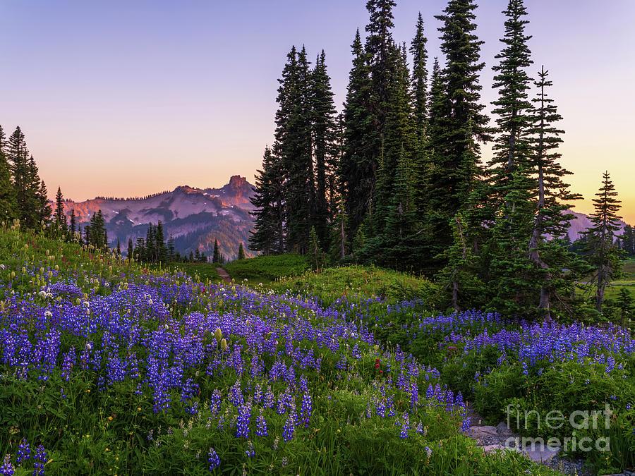 Mount Rainier National Park Lupine Trail Photograph