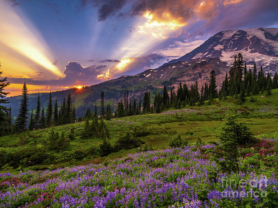 Mount Rainier Sunset Wildflower Fields Photograph