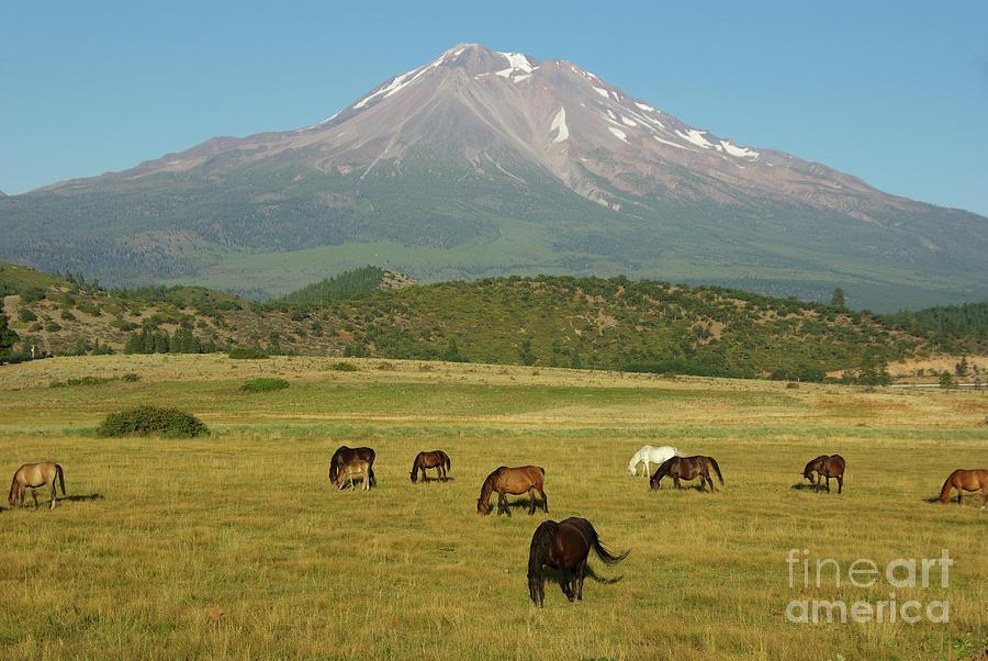 Mount Shasta Horses Photograph