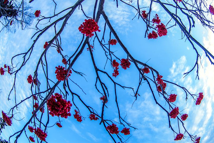Mountain Ash by Tim Beebe