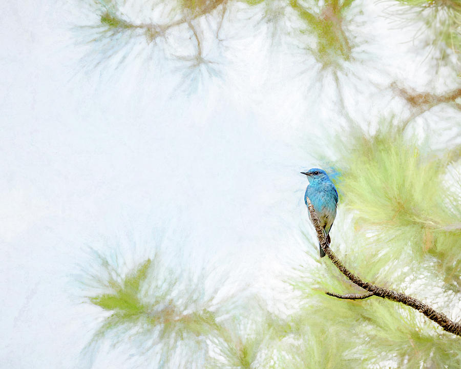 Mountain Blue Bird by Jennifer Grossnickle
