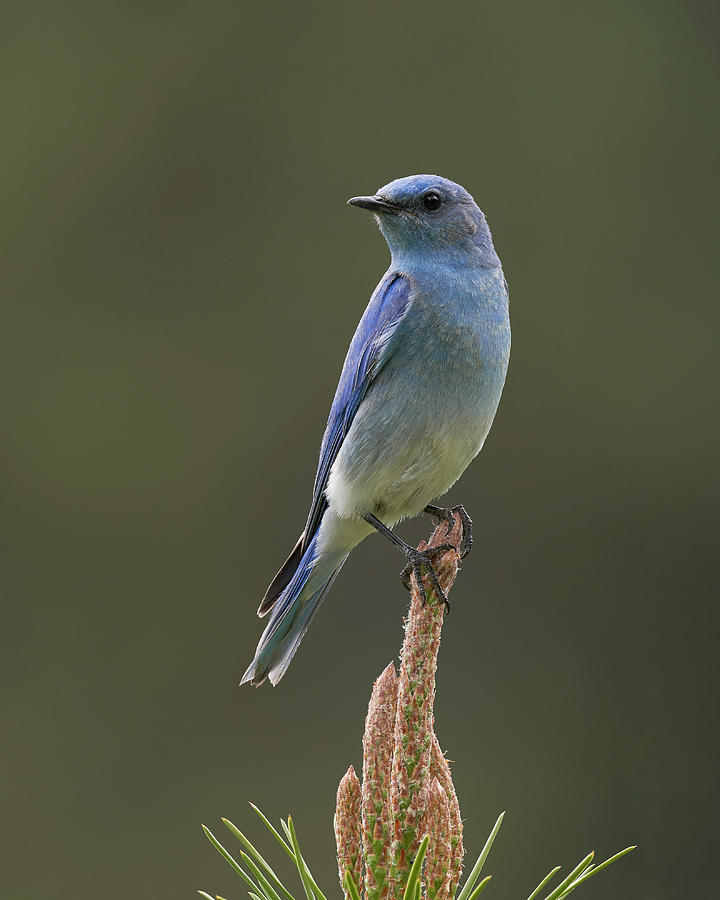 Birds Photograph - Mountain Bluebird, Sierra County California by Doug Herr