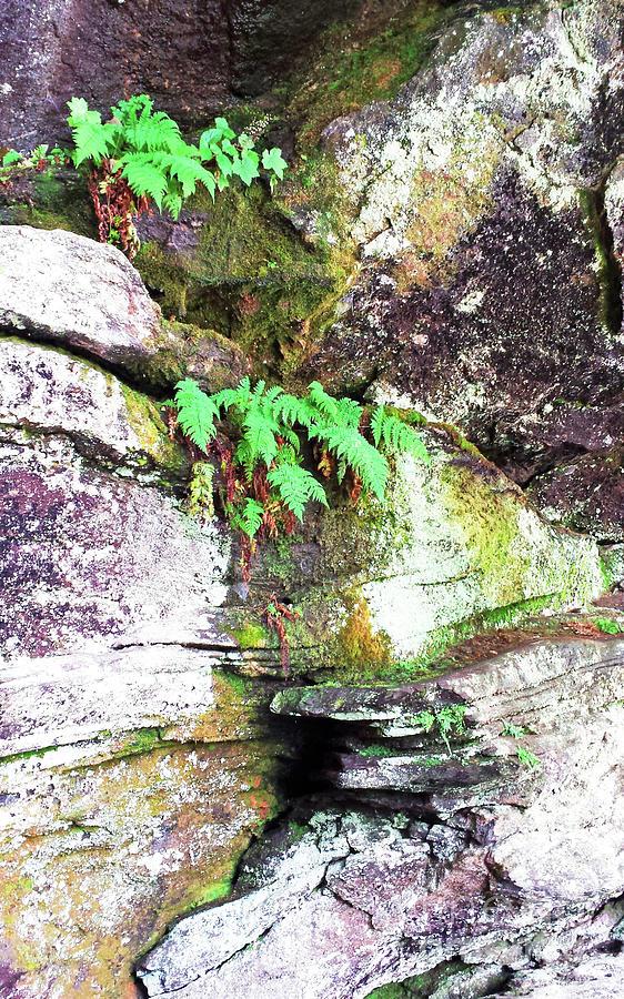 Mountain Ferns 300 Photograph