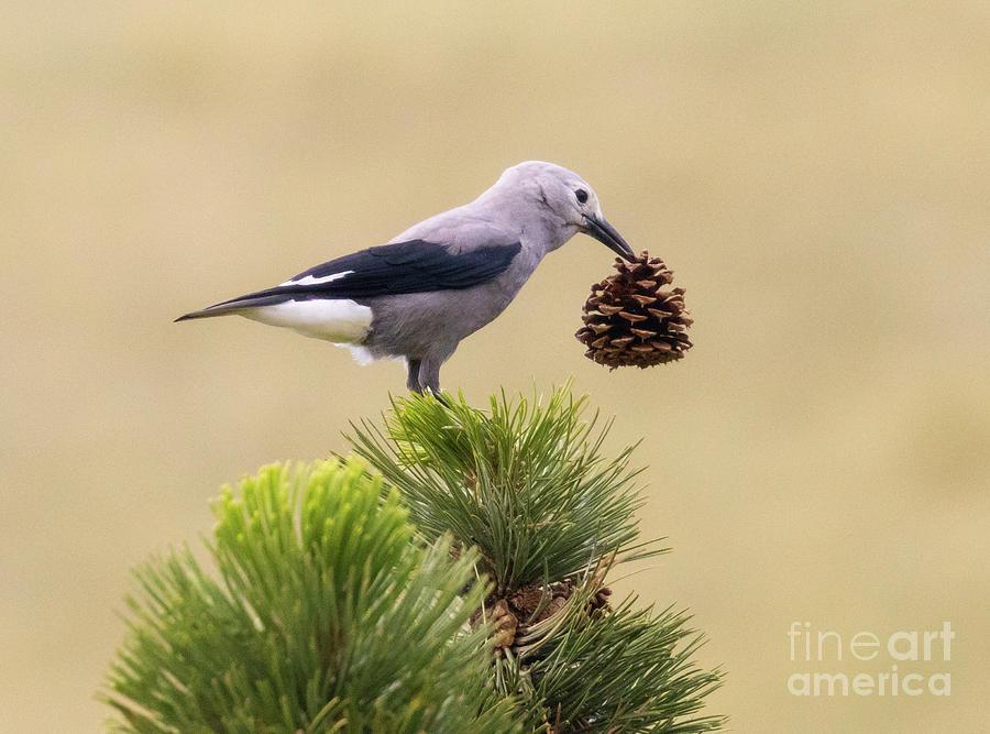 Clarks Nutcracker With Pine Cone Photograph