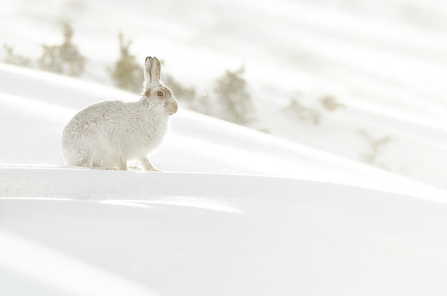 Mountain Photograph - Mountain Hare by Laura J P Richardson