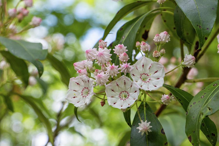 Mountain Laurel Blossoms Photograph