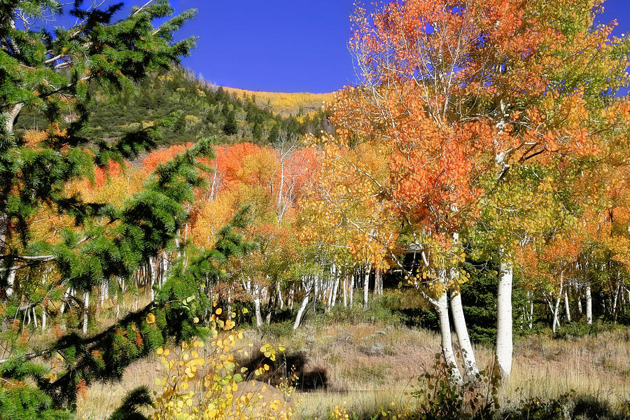 Fishlake National Forest Photograph - Mountain Top Aspens by Donna Kennedy
