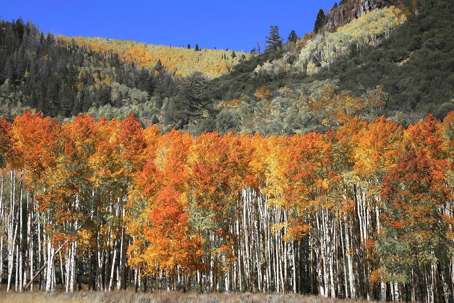 Fishlake National Forest Photograph - Mountainside Aspen Abstract by Donna Kennedy