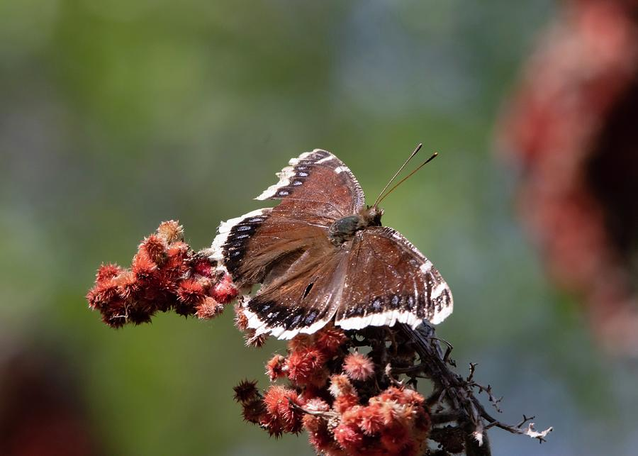 Mourning Cloak Butterfly In Spring Photograph