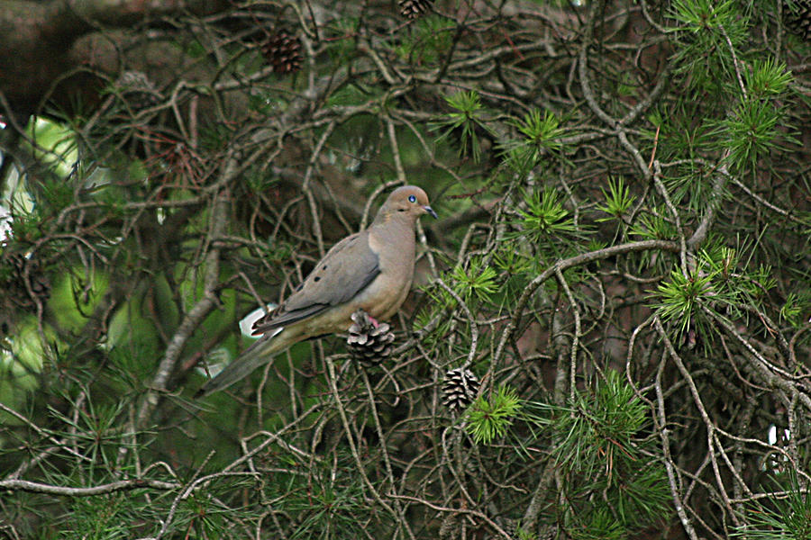 Nature Photograph - Mourning Dove by Holly Morris