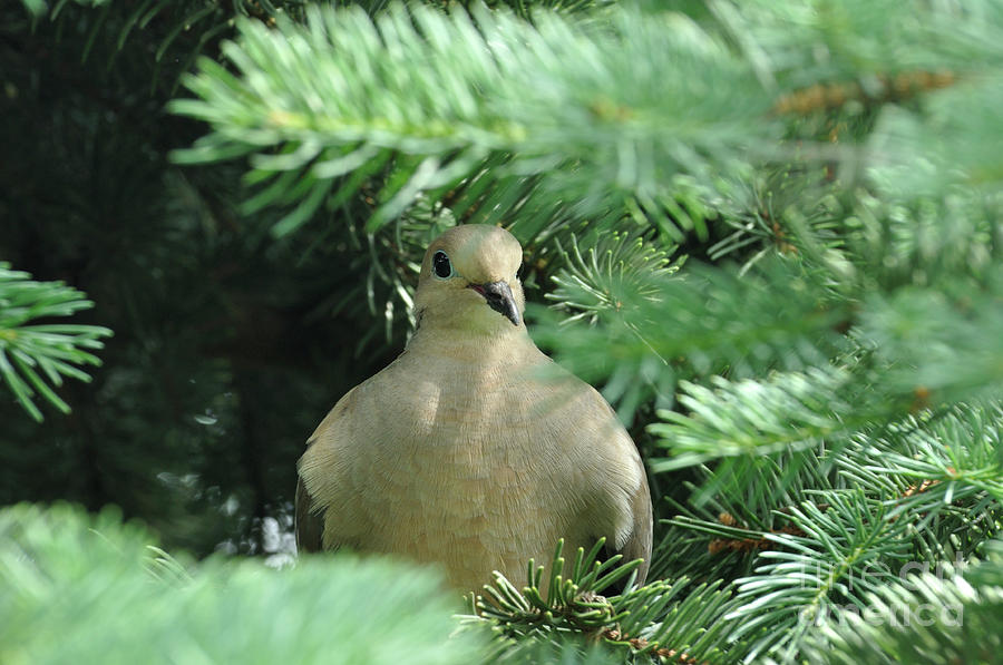 Mourning Dove in a Spruce Tree by The Ford Family