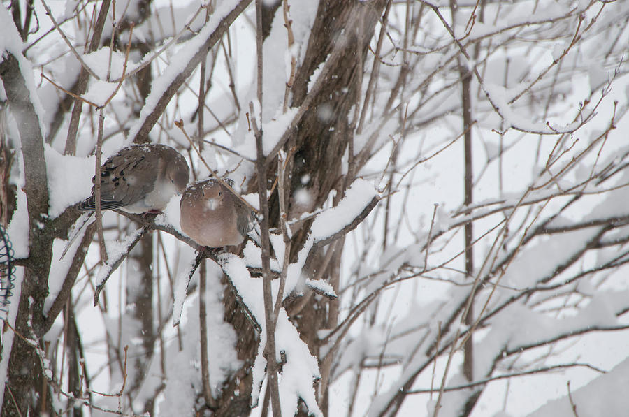 Mourning doves in the snow by Lieve Snellings