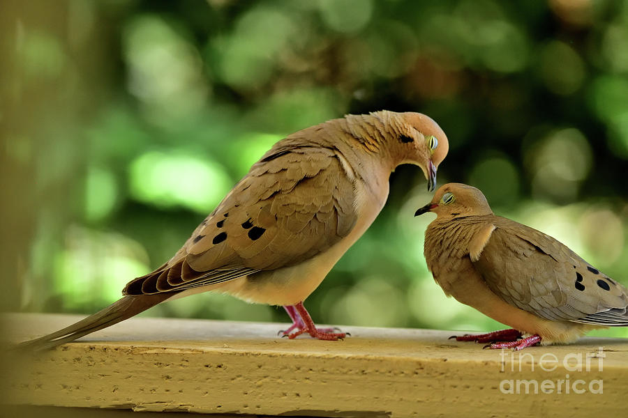 Mourning Doves Mating - Enjoying The Touch Photograph