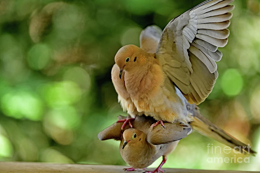Mourning Doves Mating - The Act Continues Photograph