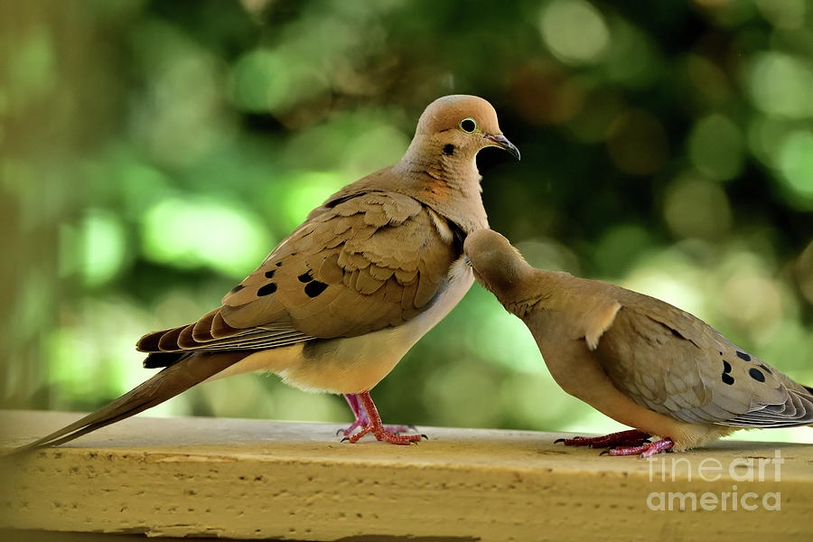 Mourning Doves Mating - The Nudge By Female Photograph