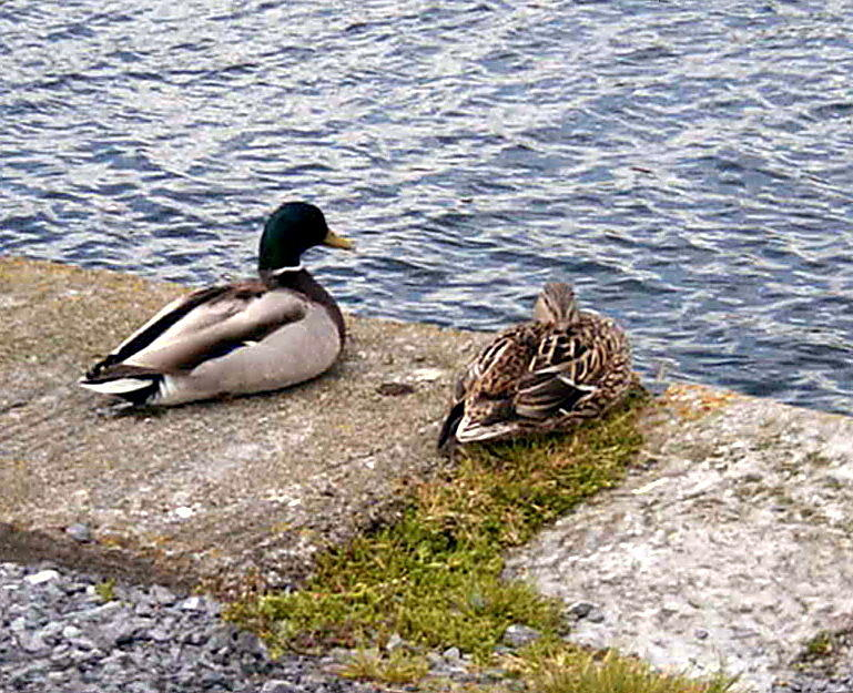 Mr and Mrs Quack by Val Byrne