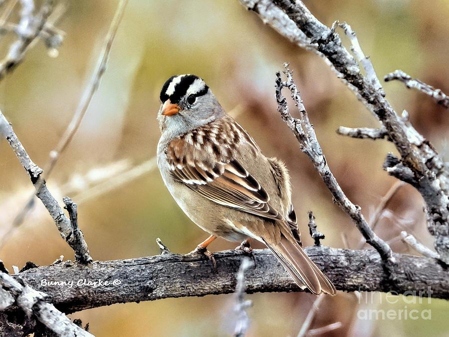 Wildlife Digital Art - Mr. White Crowned Sparrow by Bunny Clarke